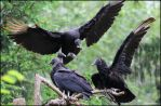 The Vulture's Gathering 2 by SilkenWinds