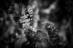 butterfly 1 by MidnightDaisyStudio