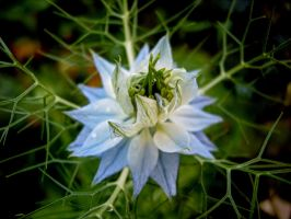 Love-in-a-mist by Paul774