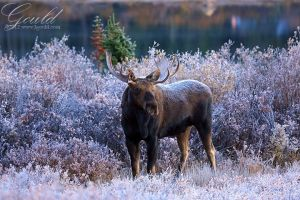 Morning Moose by ThisWomanWanders
