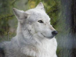 Wolf Portrait Stock 4 by Clickitysnip-Stock