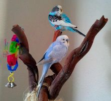 Pair O' Parakeets by MrWootton
