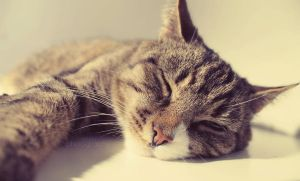 Sleepy cat by sisselPhotography