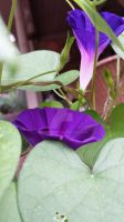 Violet Morning Glory by rabbithat8
