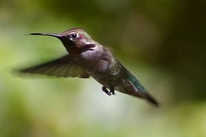 Which Hummingbird? by PatGoltz