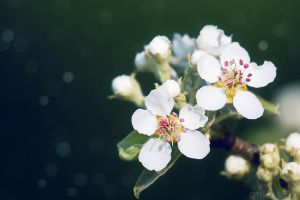 Pear Blossom by Theta-Scorpii
