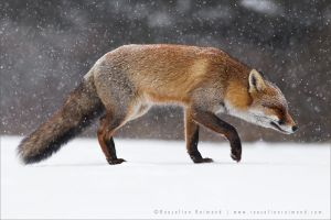 Red Fox Braving a Blizzard by thrumyeye