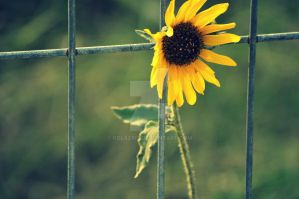Sun Flower by Polaeris