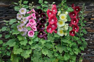 Hollyhock (Alcea rosea) by AnimalPlantLearner