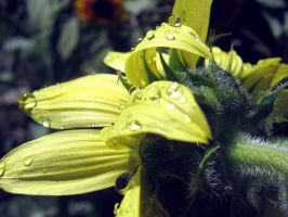 Sunflower Water Droplets by Sing-Down-The-Moon