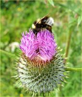 Thistle Visit by Tamakin