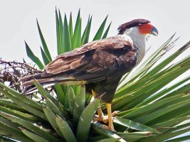 (Northern) Crested Caracara by ZoPteryx