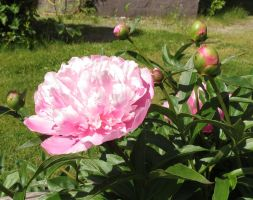 Pink Paeonia 2 by Kattvinge