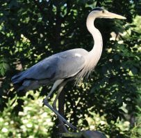 heron stock 2 by Sikaris-Stock