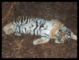 Baby tiger sleeping 1 by AF--Photography