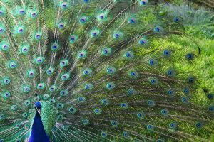 Peacock alias Leon by Emily-Pictures