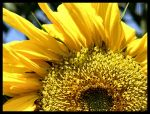 Just a sun flower by Andso