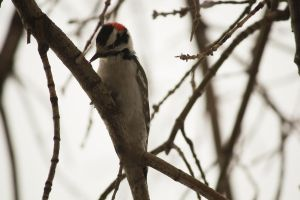 Male Downy WoodPecker 2014 2 by toshema