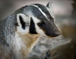 Badger by LarryRaisch
