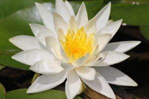 Water Lily w Molting Dragonfly by meeks105