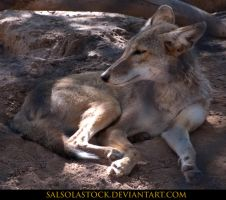 Coyote 2 by SalsolaStock