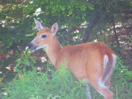 Whitetail Deer Stock 0959 by sUpErWoLf--StOcK
