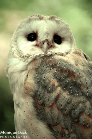 Barn Owl by fucute