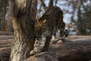 Amur Leopard Stock 22 by HOTNStock