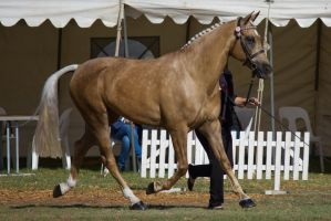STOCK - 2014 TotR Arabians-25 by fillyrox