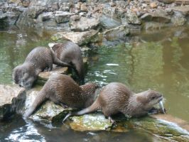 Group of Otters by Skrillexia-TF