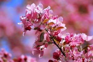Apple Blossoms by exarobibliologist