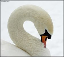 Mute Swan Portrait II by andy-j-s