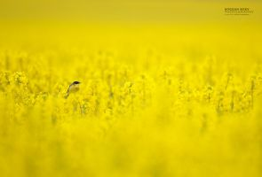 Yellow bird in yellow world! by BogdanBoev