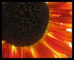 Another Blackeyed Susan by thegratefulred
