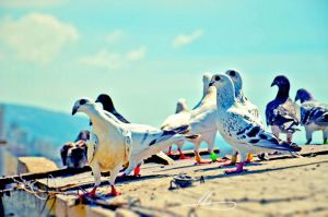 Tripoli Pigeons by redkiler