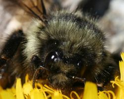bee-face by davesbit