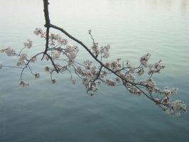 Cherry Blossom by bobrobon