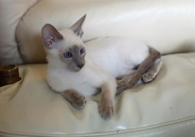Siamese Cat by photoboater