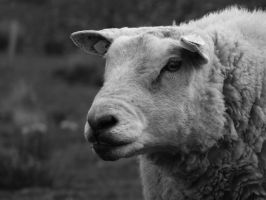 black and white sheep by meenags
