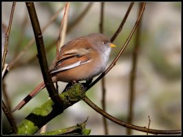 Female Bearded Tit 4 by cycoze