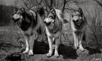 wolves in focus by Yair-Leibovich