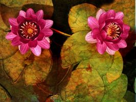 Two Red Waterlilies by Tackon
