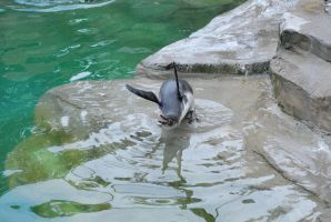 humboldt penguin 2.10 - juvenile by meihua-stock
