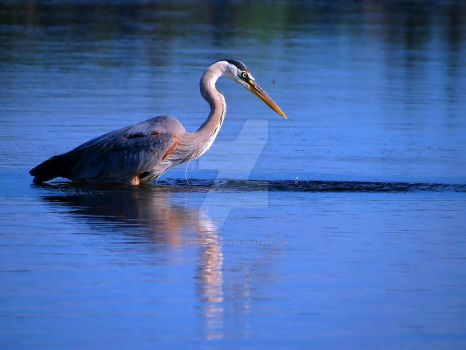 Great Blue Heron 1 by zaphotonista