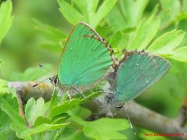 Green Hairstreaks (mating pair) by Terrydunk