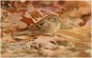 Field Sparrow by Ryser915