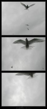 Arctic Tern Attack by Crooty