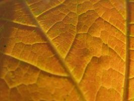 Veins of an Autumn Leaf by Toderico