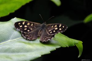 Speckled Wood.. by AlfiBOh