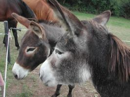 Animals - Donkeys 4 by Stock-gallery